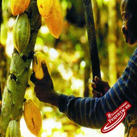 Путешествие шоколада по миру. Сборщик какао бобов